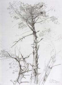 Grobastige Kiefer, 2009, Bleistiftzeichnung - Bild von Stefan Bönsch, https://stefanboensch.de