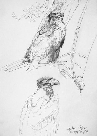 Skizzen eines jungen Seeadlers, 2012, Zeichnung - Bild von Stefan Bönsch, https://stefanboensch.de