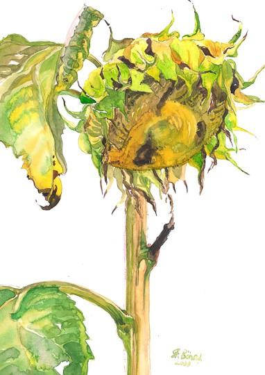 Sonnenblume III, 2009, Aquarell - Bild von Stefan Bönsch, https://stefanboensch.de