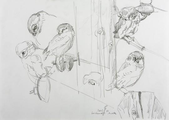 Steinkauzstudien I, 2009, Bleistiftzeichnung - Bild von Stefan Bönsch, https://stefanboensch.de