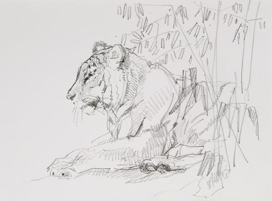 Tigerstudie II, Zeichnung, 2010, Zeichnung - Bild von Stefan Bönsch, https://stefanboensch.de
