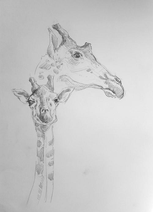 Zoologisches Forschungsmuseum Alexander König, Studie, Giraffen 2 - Stefan Bönsch, https://stefanboensch.de