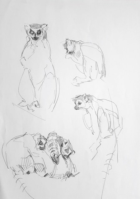 Zoo Budapest, Studie, Lemure 5 -Stefan Bönsch, https://stefanboensch.de
