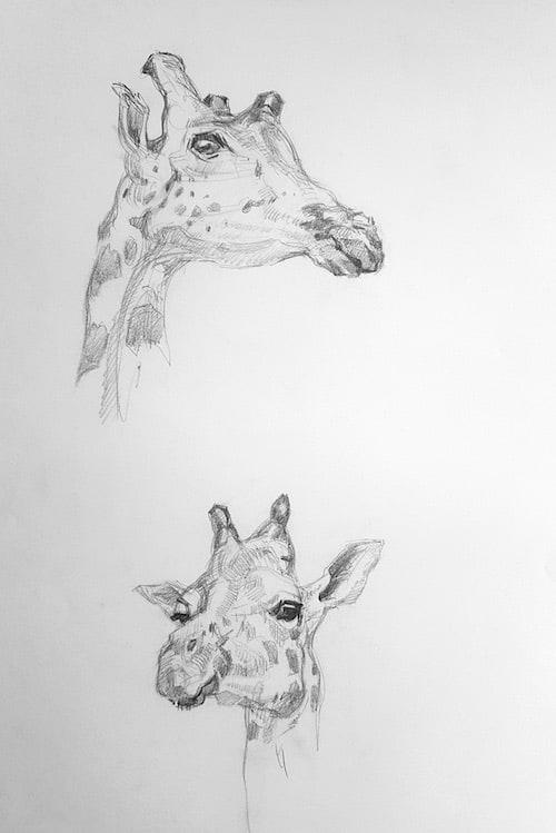 Zoologisches Forschungsmuseum Alexander König, Studie, Giraffen 1 - Stefan Bönsch, https://stefanboensch.de