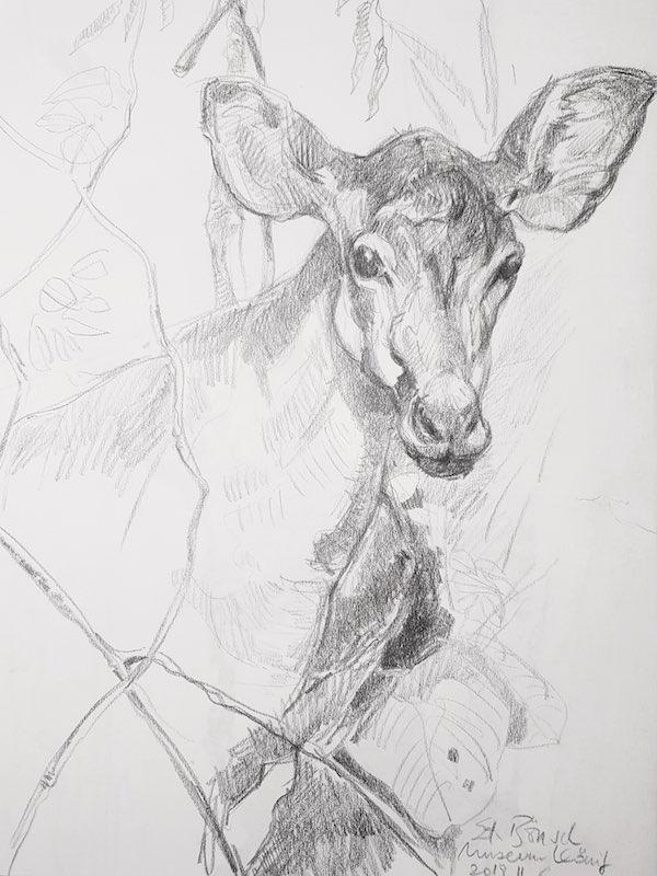 Zoologisches Forschungsmuseum Alexander König, Studie, Okapi - Stefan Bönsch, https://stefanboensch.de